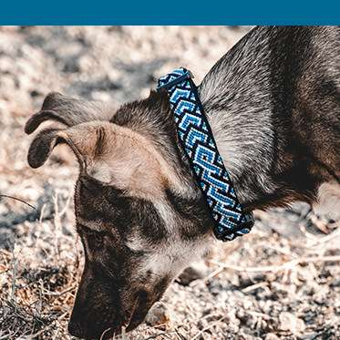 Dog wears blue collar with blue color bar