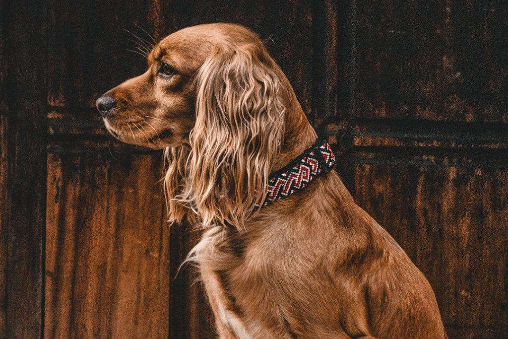 Brown Cocker Spaniel sits in profile while wearing red and black collar