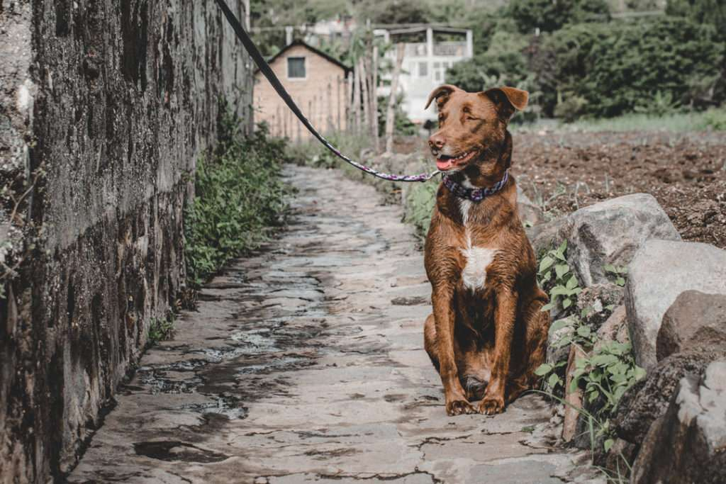 Brown dog with white chest sits on stone walkway with purple and black leash and matching collar