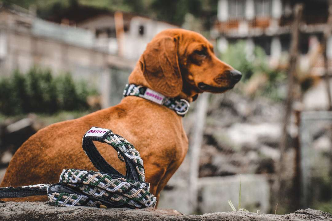 Brown dog sits by rock wall with green and brown collar and leash
