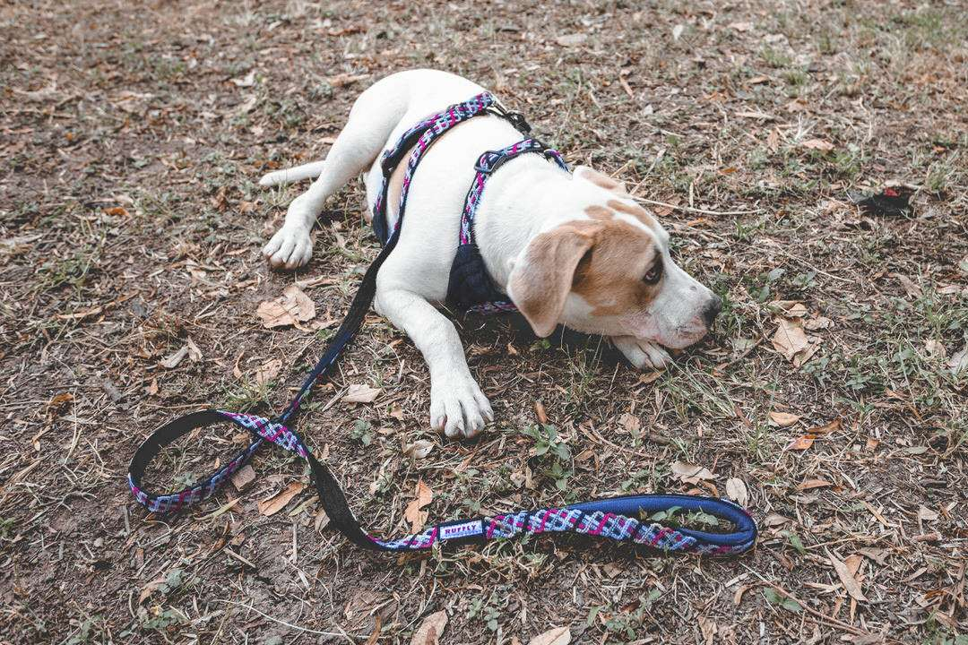 White and tan dog lays on grass while wearing pink and black outdoor harness with leash