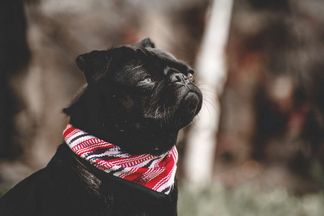 Black pug wears outdoor dog bandana in black, red, and white in garden