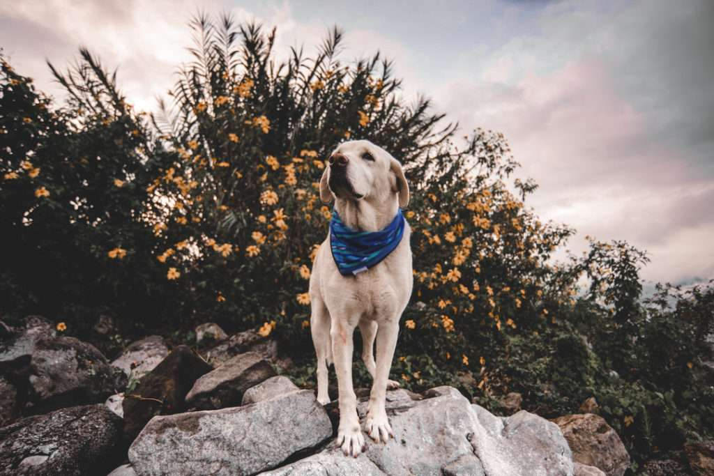 Golden Retriever looks upwards with flowers while wearing blue outdoor dog bandana