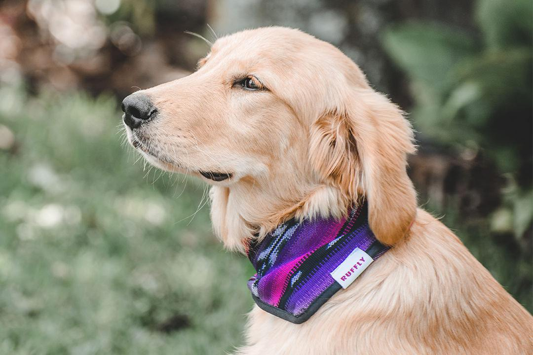 Golden Retriever looks upwards while wearing pink and purple dog bandana in garden