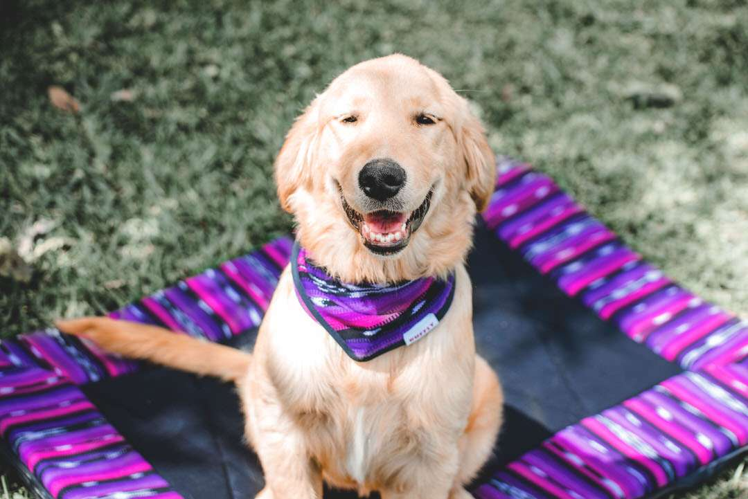 Golden Retriever sits on pink, purple, and black dog travel bed on grass