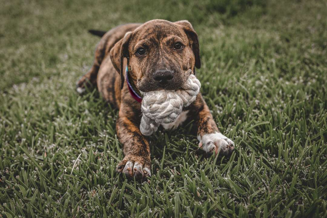 Brindle puppy dog lays on grass with rope fetch toy in mouth