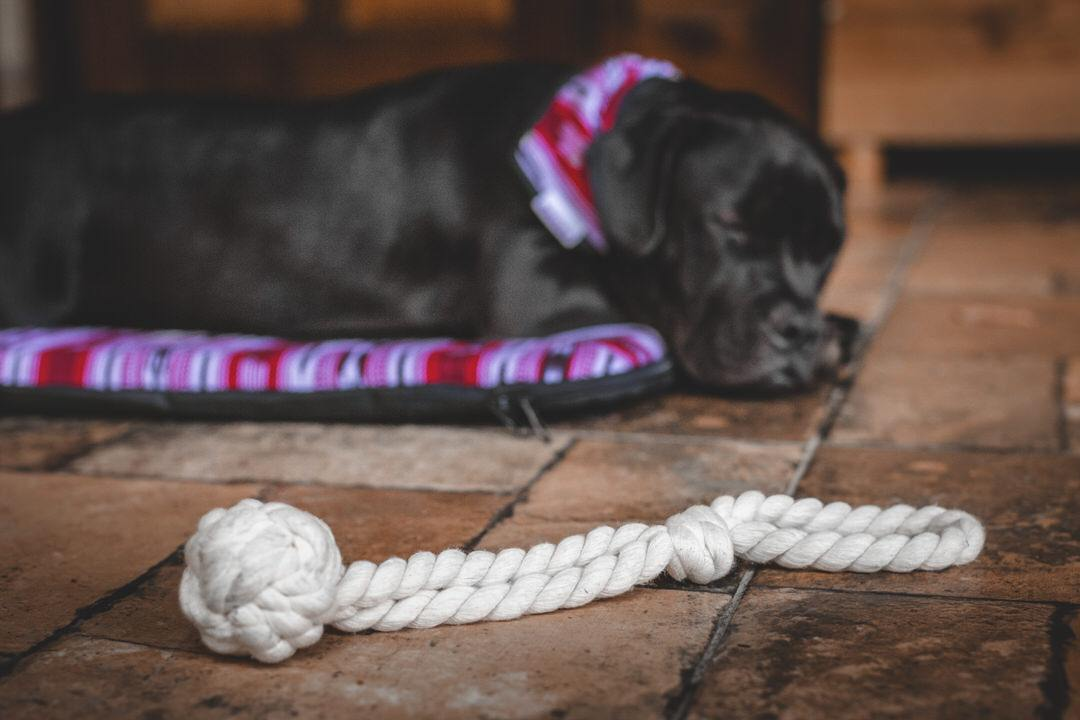 Black dog sleeps on red bed beside cotton rope dog fetch toy