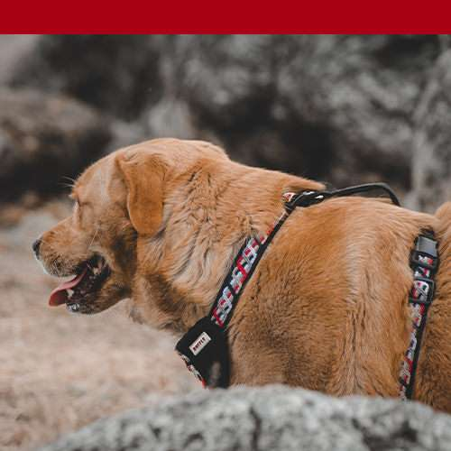 Red harness on furry brown dog with red color bar