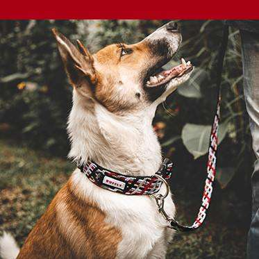 Dog wears red leash with red color bar