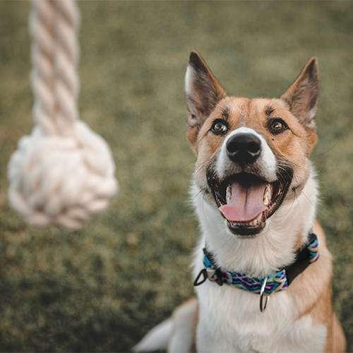 Dog anticipates cotton rope fetch toy