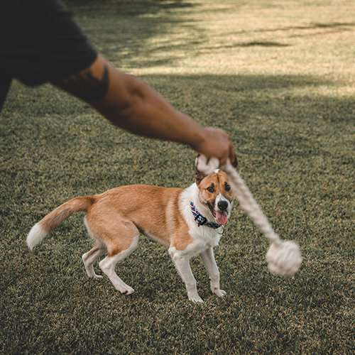 Dog gets ready to chase cotton rope fetch toy