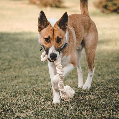Dog returns with cotton rope fetch toy