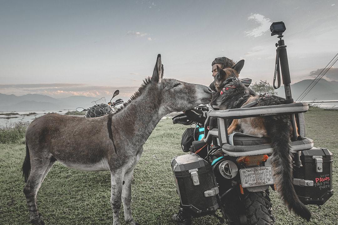 Curious donkey at campground sniffs at German Shepherd in motorcycle dog carrier