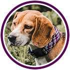 Dog wears purple collar in purple circle