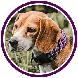 Dog wears purple collar in purple circle
