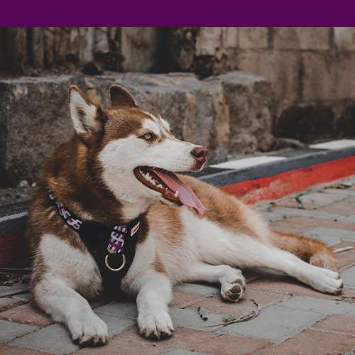 Purple harness on ginger and white Huskey with purple color bar