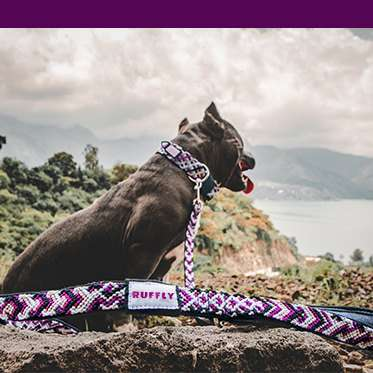 Dog wears purple leash with purple color bar
