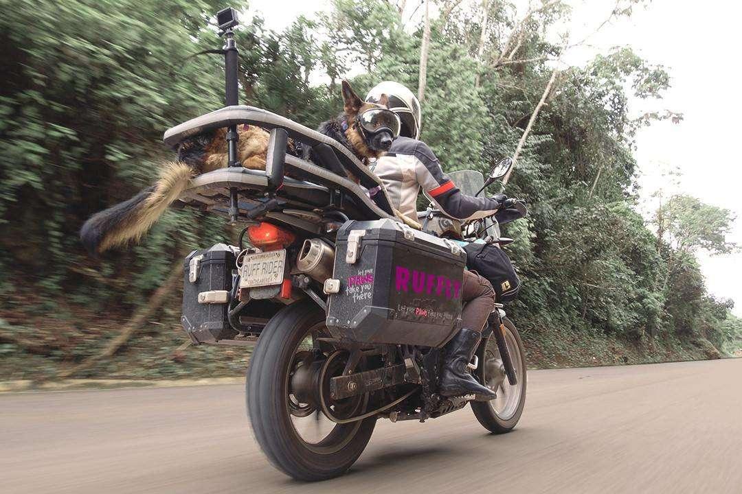 German Shepherd rides fast adventure motorcycle in open-air motorcycle dog carrier