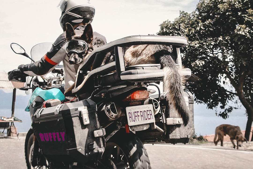 Woman and German Shepherd on motorcycle riding past lookout point with dog sniffy at roadside