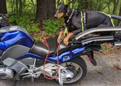 Large black doberman pinscher on a motorcycle dog carrier mounted to a touring motorbike