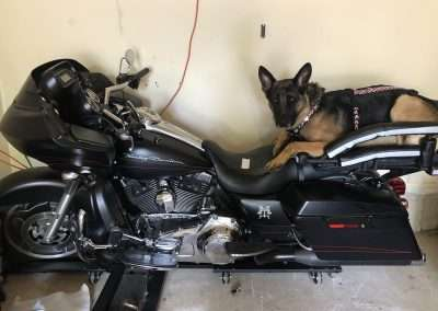 German Shepherd on a motorcycle dog carrier mounted to a big Harley-Davidson