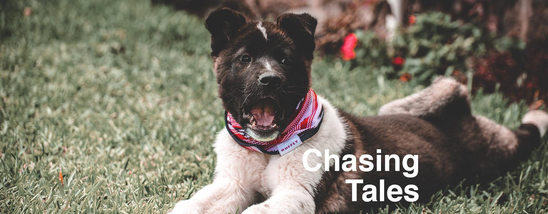 """Dog with black face and white and grey body lays on grass while yawning and overlaid text: """"Chasing Tales"""""""