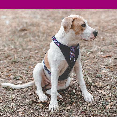 Pink harness on beige and white dog with pink color bar