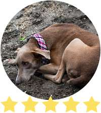 Brown dog lays curled but on black sand while wearing pink handmade dog collar