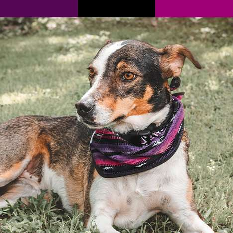 Dog with pink and purple outdoor bandana with matching color swatches